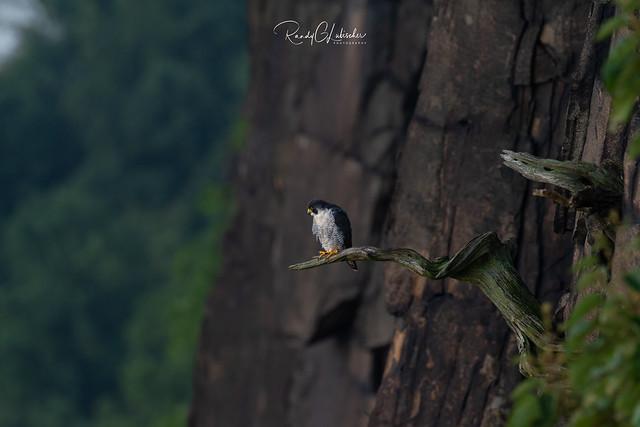 Peregrine Falcon - Falco peregrinus | 2018 - 21