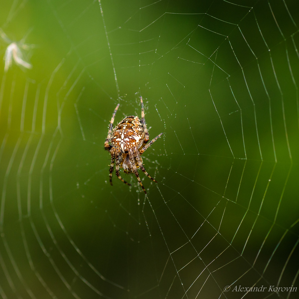 The female of spider araneus