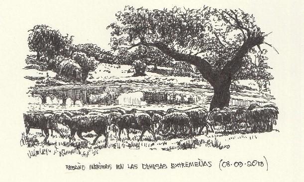 Merinas en la dehesa extremeña, cerca de Trujillo (Cáceres)