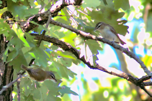 Red-eyed Vireos two 20180911