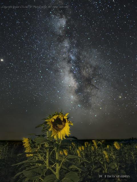 Sunflower2-edit