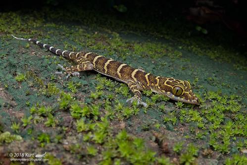 Cyrtodactylus malayanus_MG_1939 copy