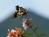 Photo:Asian swallowtail butterfly (Papilio xuthus, アゲハチョウ) By Greg Peterson in Japan