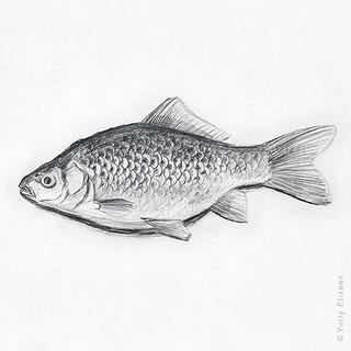 Prussian carp