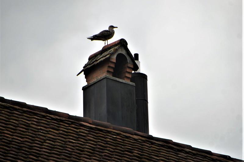 Gull 02.09 (8)