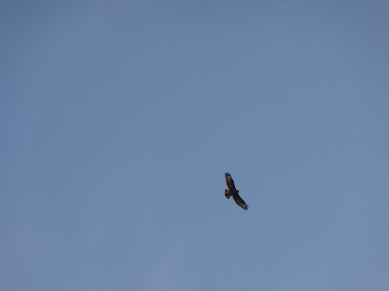 Buzzard in the blue sky