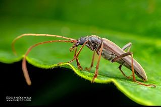 Longhorn beetle (Dorcasominae) - DSC_2013