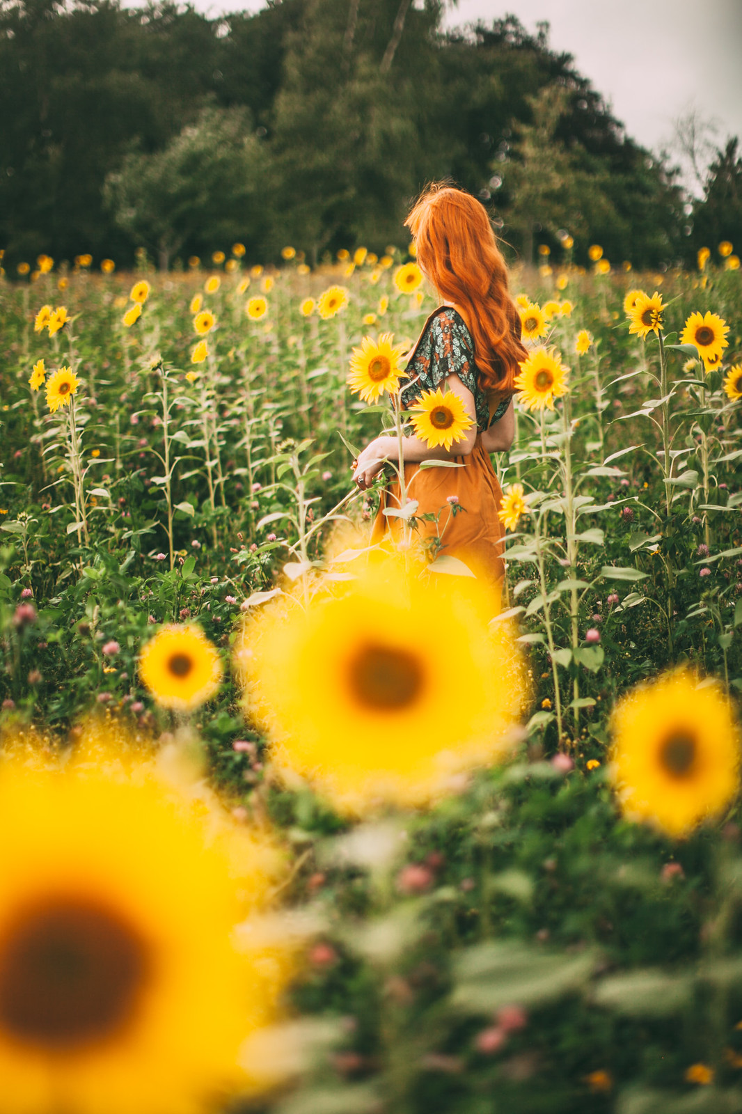 sunflower field-3