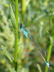 Blue-tailed Damselfly (Ischnura elegans) male