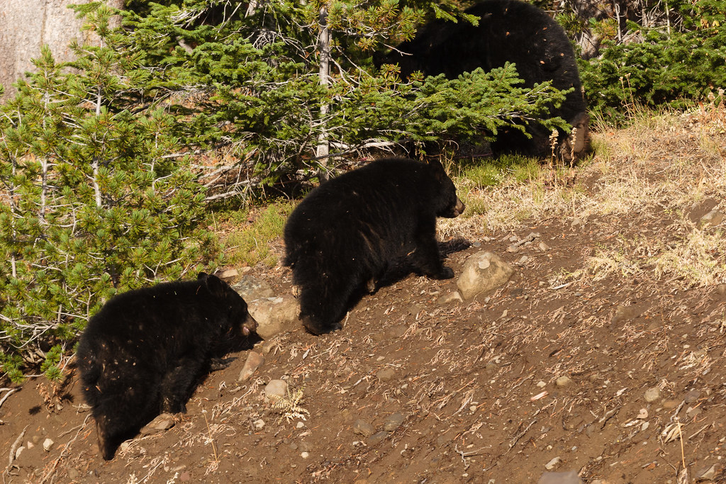 Two black bear cubs follow their mother into the forest in Yellowstone National Park in Wyoming
