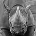 Black Rhino B&W