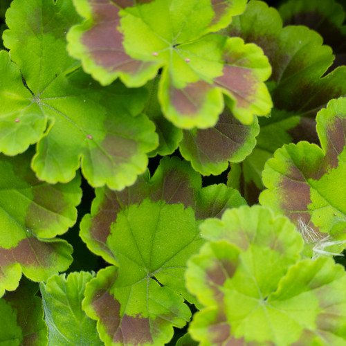 Pelargonium (geranium) leaves