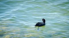 Foulque dans les eaux turquoises