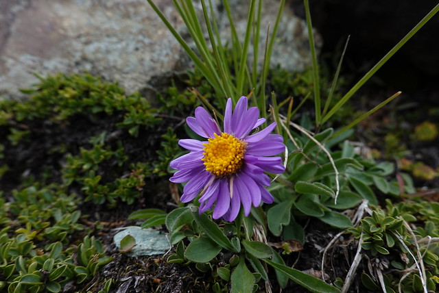 Purple daisy, YAFA