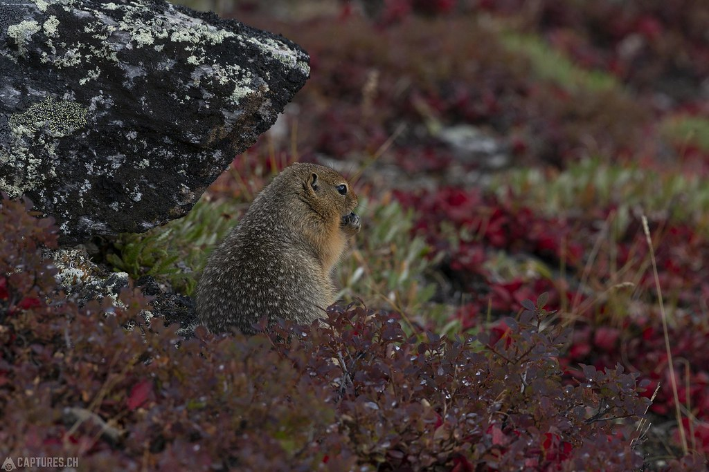 Mountain squirrel - Alaska
