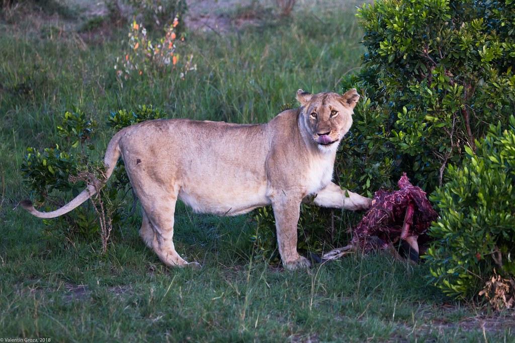 Maasai Mara_13sep18_15_leoaica la masa