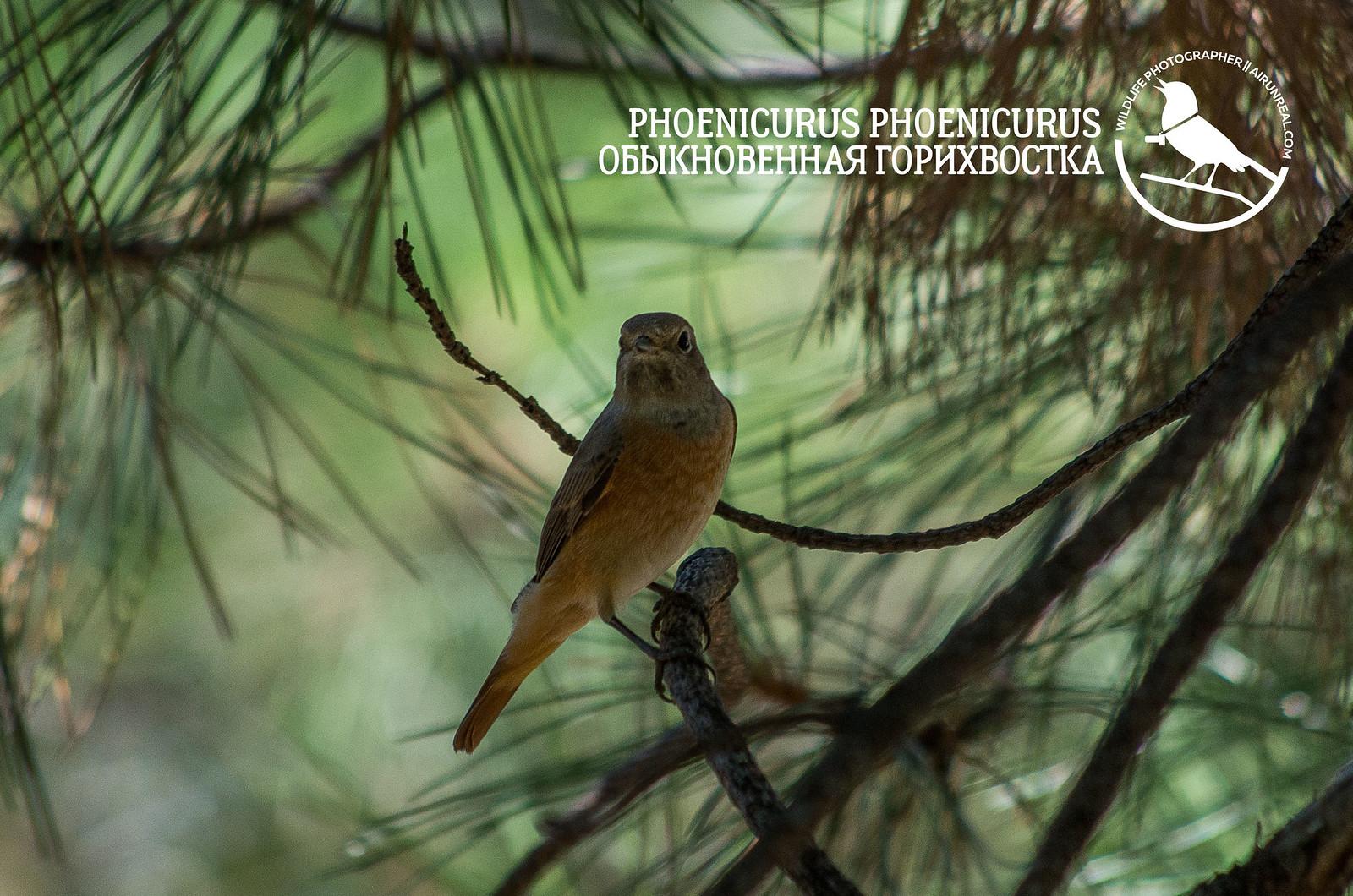Phoenicurus phoenicurus // 20180918