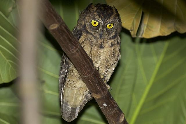 Ryukyu Scops Owl (Otus elegans) on Batanes, Basco