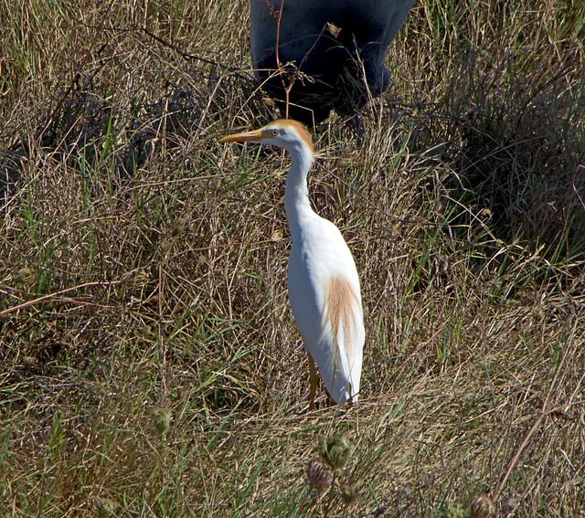 Bubulcus ibis Cattle egret, RICOH PENTAX K-S2, smc PENTAX-DA 55-300mm F4-5.8 ED