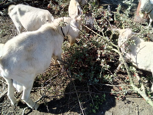 goats eating hawthorn Sept 18