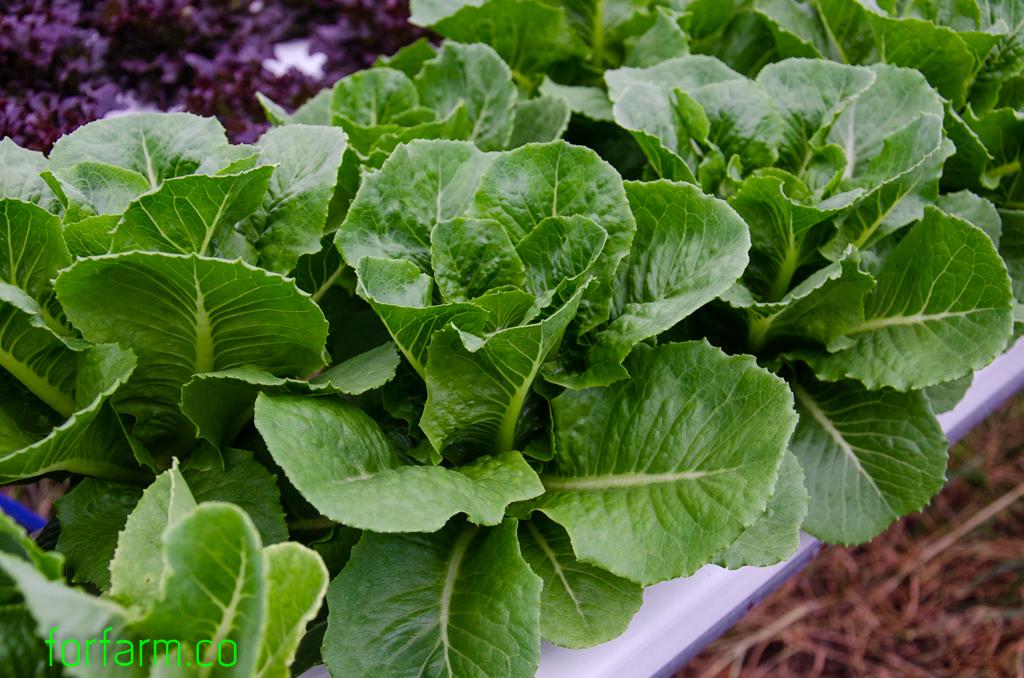 ผักสลัดคอส (Cos Lettuce)