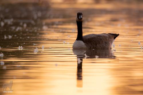 canadiangoose water pond sunrise