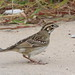 Lark Sparrow at Sandy Hook, lifer