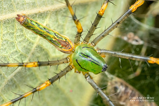 Green lynx spider (Peucetia madagascariensis) - DSC_7873