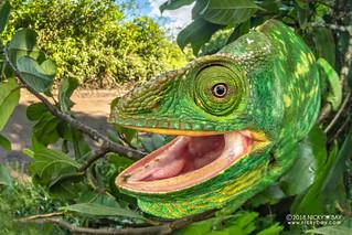 Parson's chameleon (Calumma parsonii) - DSC_0847