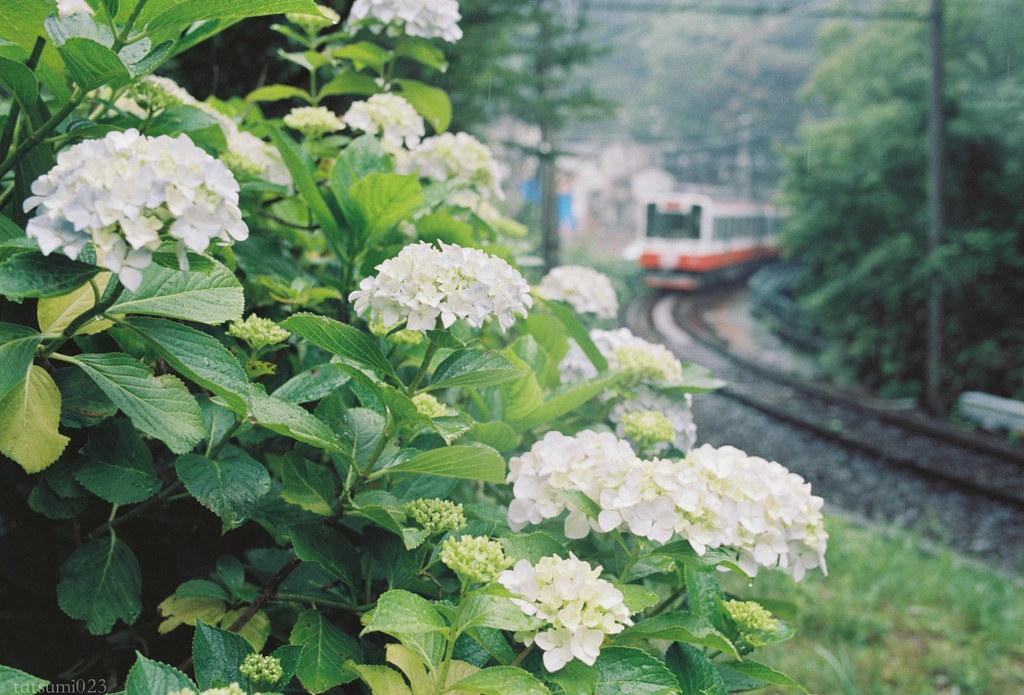 2018-07-31 紫陽花と箱根登山鉄道 004