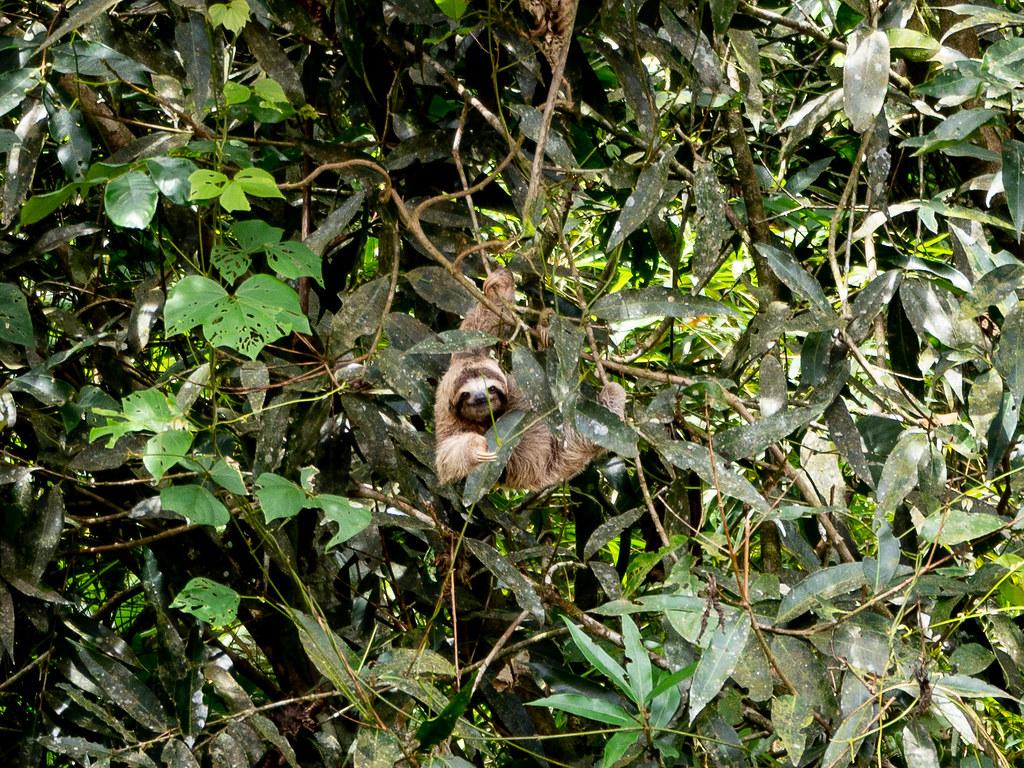 A sloth, aka oso perozoso, aka lazy bear