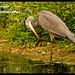 Grey Heron .