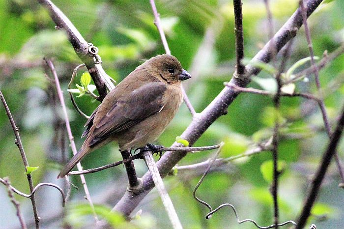 dull coloured seedeater