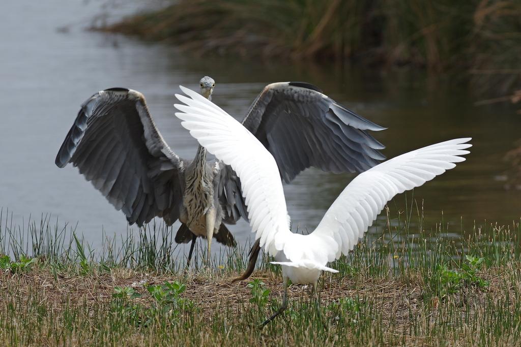 Sortie à la réserve ornithologique du Teich - 24 août 2018 - Page 4 30503183238_b2d2345c19_o