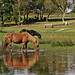 IMG_8485 - New Forest Ponies - Hatchet Pond - 01.09.18