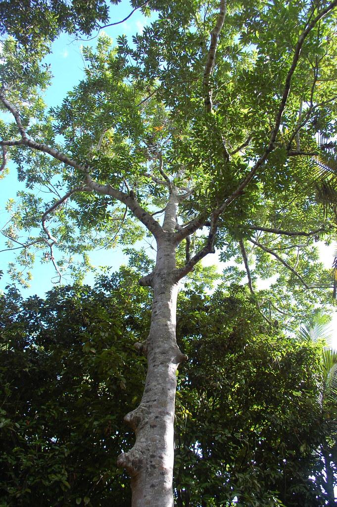 Elaeocarpus_grandis_DSC_0023