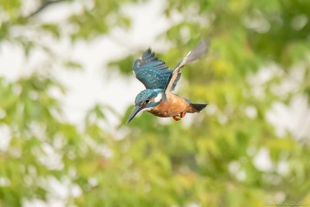 20180910-kingfisher-DSC_8755
