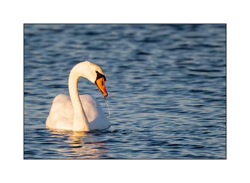woodshole massachusetts swan nikon500mmf56