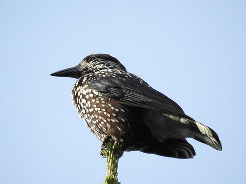 spottednutcracker nucifragacaryocatactes tannenhäher mänsak bird p900 nikoncoolpixp900