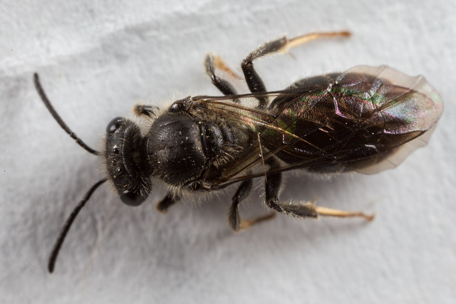 Lasioglossum? Bee 3 No.... Euhesma sp