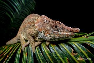 Short-horned chameleon (Calumma brevicorne) - DSC_3053