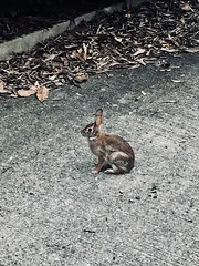 Urban rabbit
