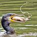 Cormorant with fish. R274.301.