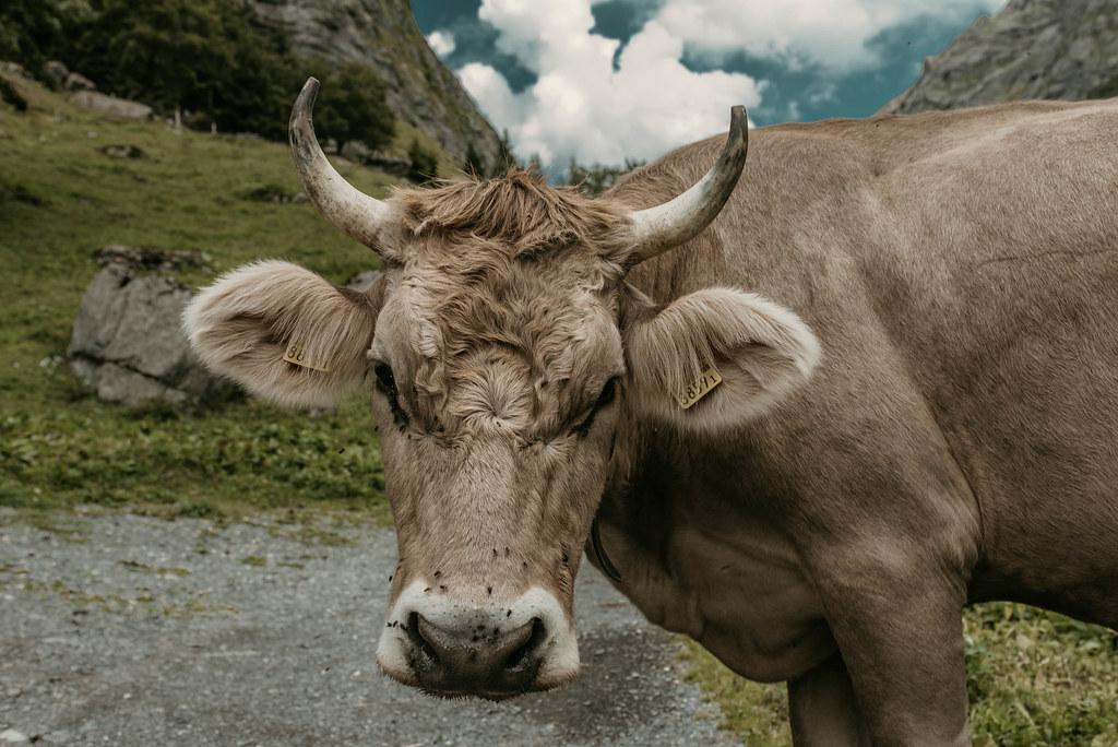 engelberg lehmä