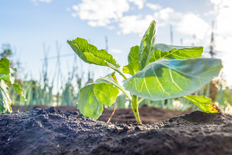 Plant cabbage seedlings for winter