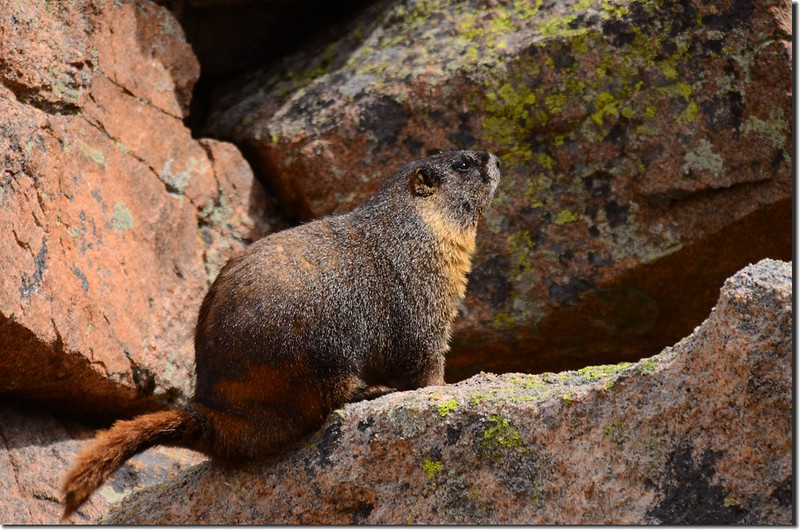 Marmot along the trail (8)