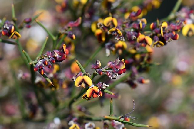 Daviesia benthami subsp. benthami