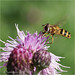 Hoverfly Species
