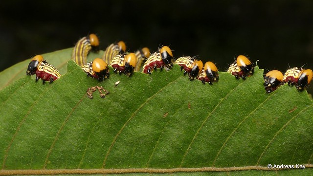 Prominent Caterpillar family, Notodontidae