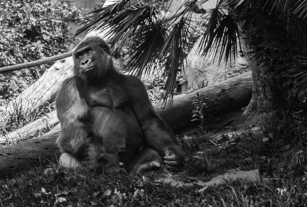 Gorilla (UV)